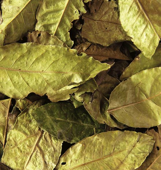 Guayusa_ilex_Guayusa_leaf_close_up